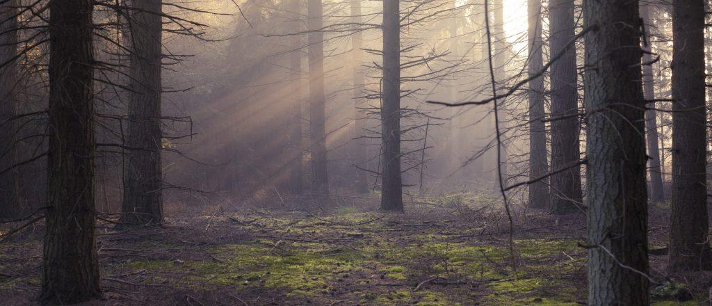 morgen i skov